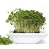 Кресс салат: полезная зелень с пикантной горчинкой