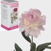 Настойка пиона – седативное средство растительного происхождения