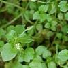 Трава мокрица: лечебные свойства чудо-сорняка