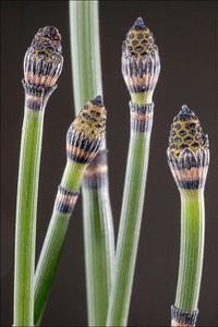 Лечебные свойства полевого хвоща: уникальное растение