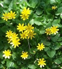 Чистотел: полезные свойства и противопоказания легендарного растения