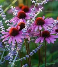 Эхинацея: полезные свойства и противопоказания садового растения