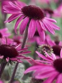 Эхинацея - лечебные свойства полезного растения