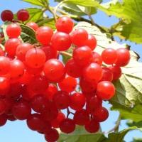 Целебные свойства калины – как лечиться этой ягодой