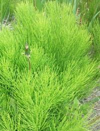полевой хвощ лечебные свойства