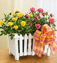 Как ухаживать за комнатной розой – красота без жертв