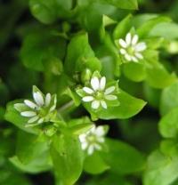 Мокрица: полезные свойства и противопоказания витаминной травы