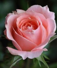 Как дольше сохранить розы – цветение в радость